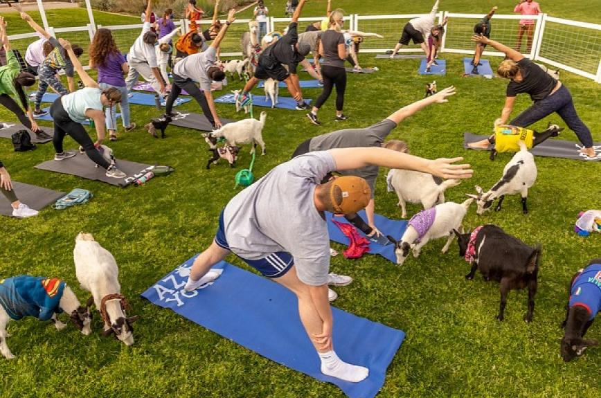 ASU students outside in masks doing yoga with goats and llamas